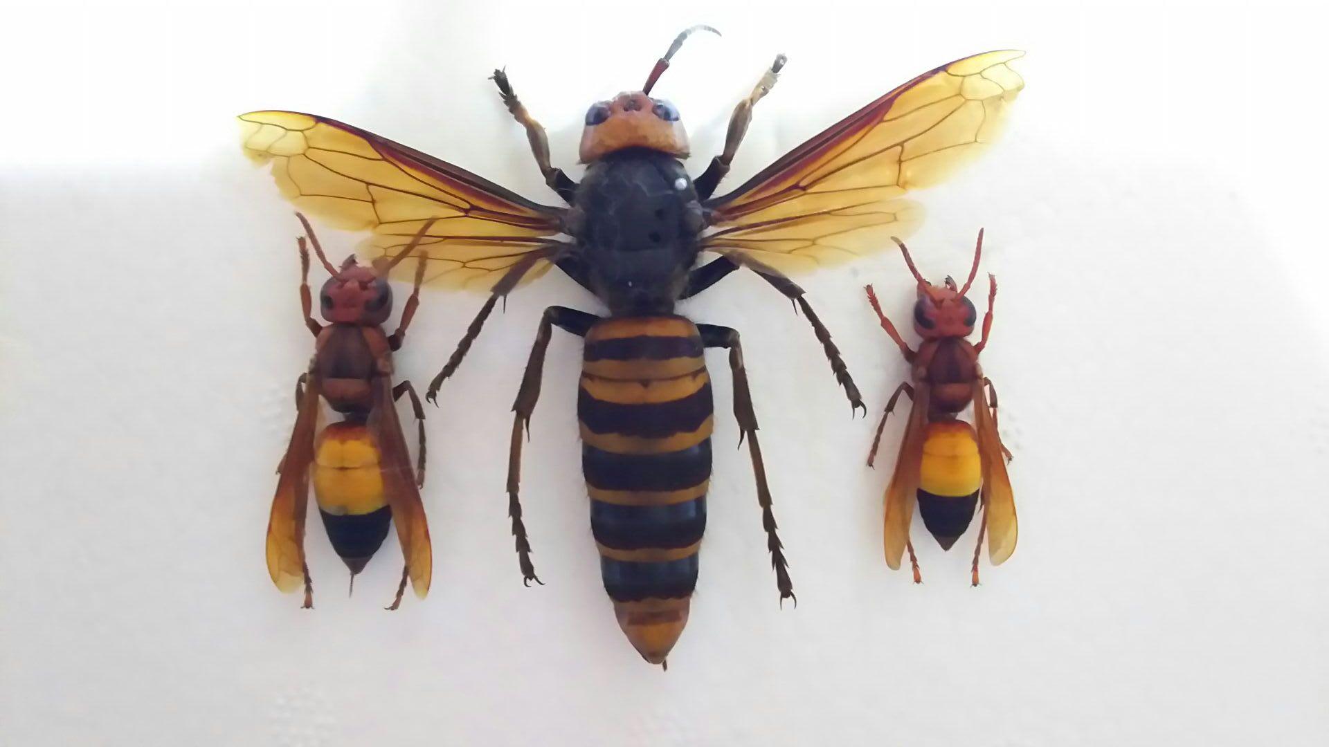 これが、ツマグロスズメバチ - ...