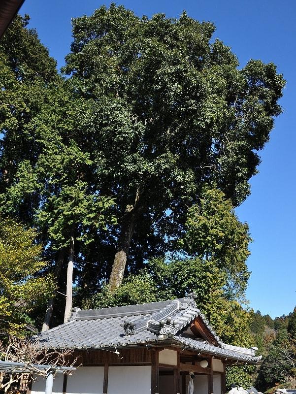 鵜山菩提樹
