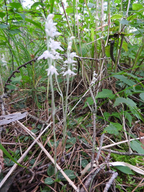 高ボッチ高原・鉢伏山で最近咲いている花 ミヤマウズラ(深山鶉)