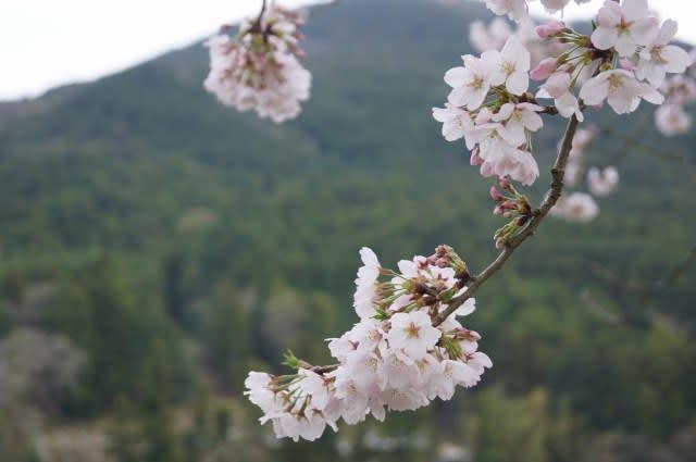 宮リバー度会パークの桜見て来ました〜(^^) 2017