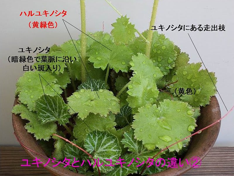 ユキノシタの画像 p1_33