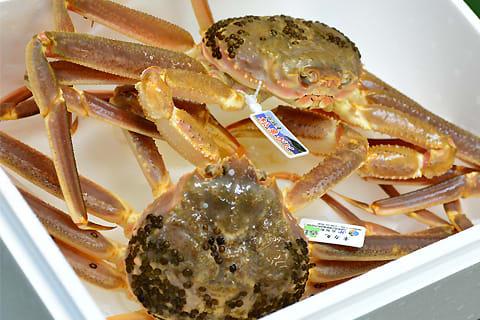 浜坂漁港から松葉蟹が届きました!