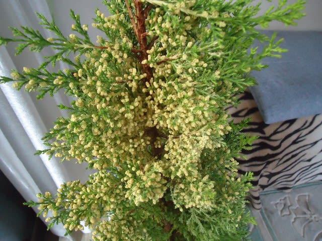 ゴールドクレスト (植物)の画像 p1_28