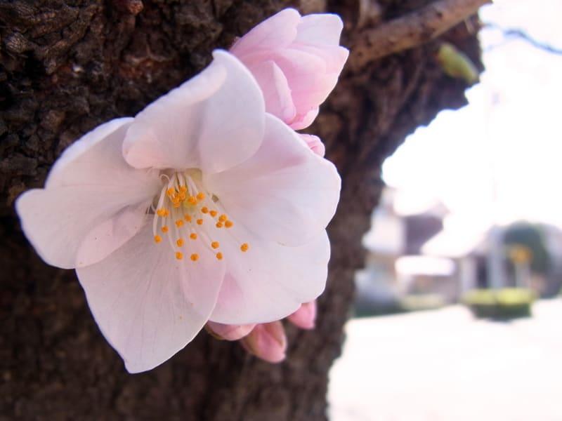 03月27日 幹の桜