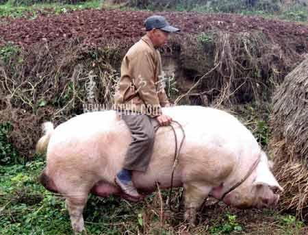 豚の画像 p1_23