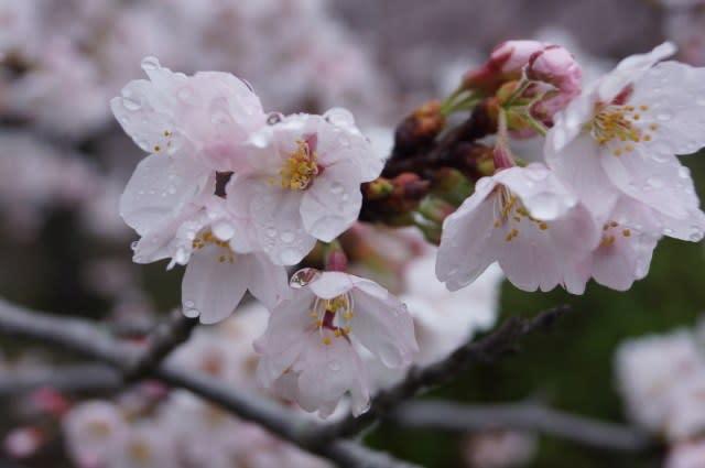 伊勢市宮川の桜見てきました〜(^^)
