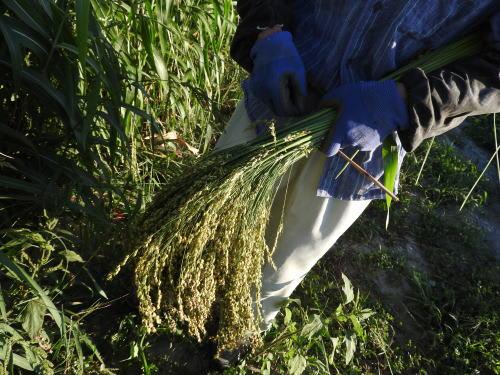 ホウキモロコシ(箒蜀黍)の取入れ