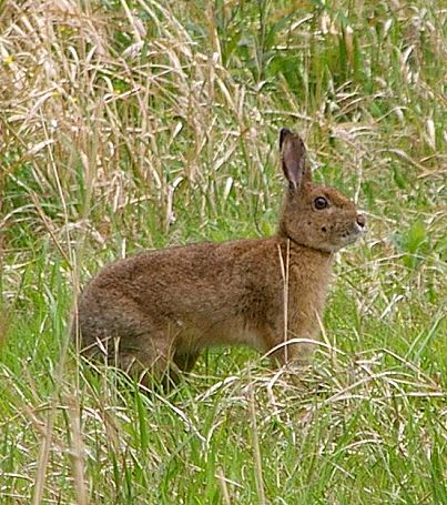 ニホンノウサギの画像 p1_23
