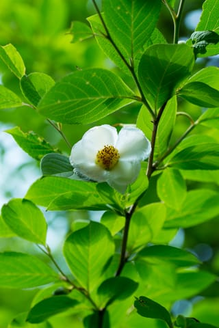 念仏寺の沙羅の花