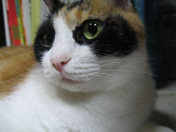 三毛猫の画像 p1_22