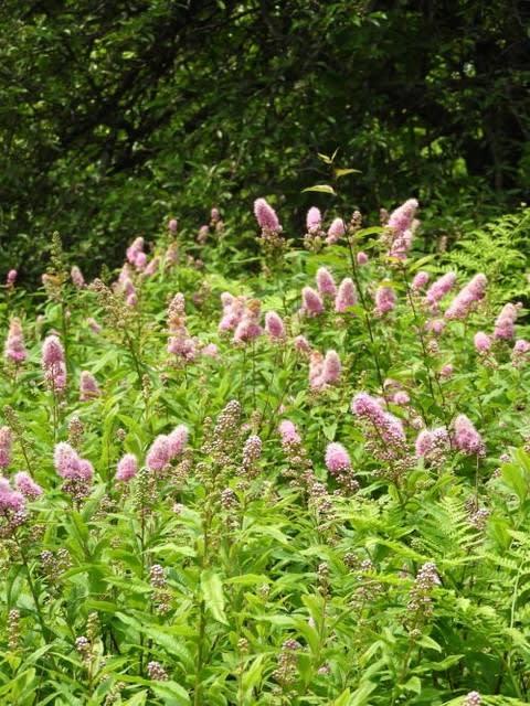 高ボッチ高原・鉢伏山で最近咲いている花 ホザキシモツケ(穂咲下野)