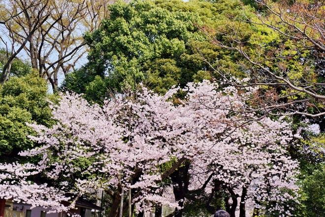 春たけなわ、満開の善福寺公園です (1) - 写真日誌