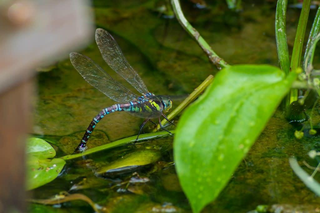 オオルリボシヤンマ(青色型メスの産卵)の写真