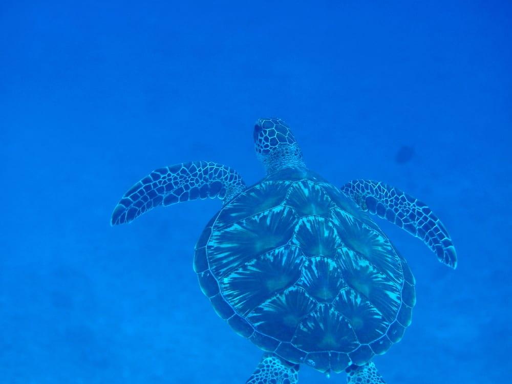 アオウミガメの画像 p1_33