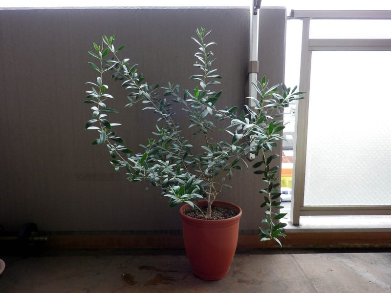 Olive_before_prune