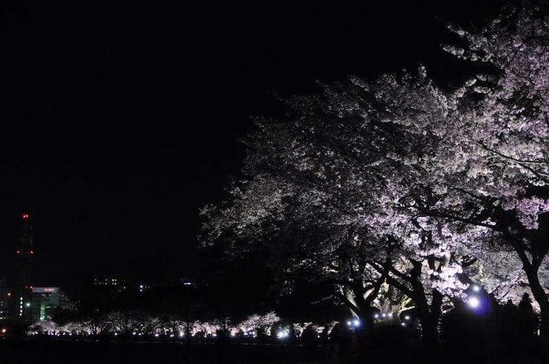 1204151senbayosakura