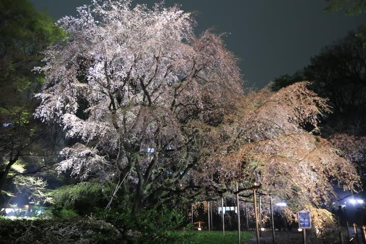 六義園のしだれ桜はだいぶ散りました