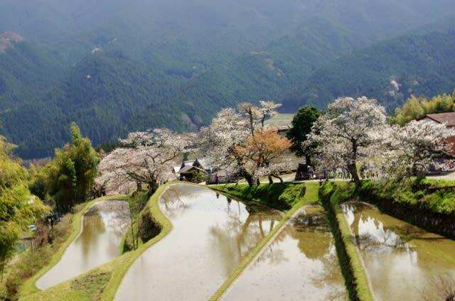 美杉町「三多気の桜」見てきました〜(^^)
