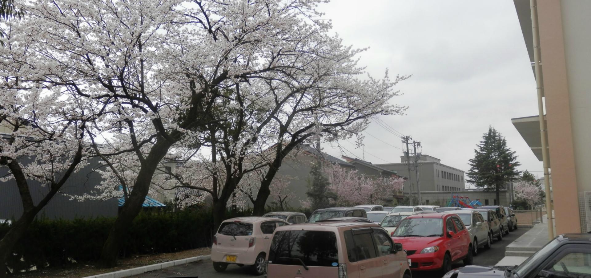 高岡市博労小学校の桜 150407(...
