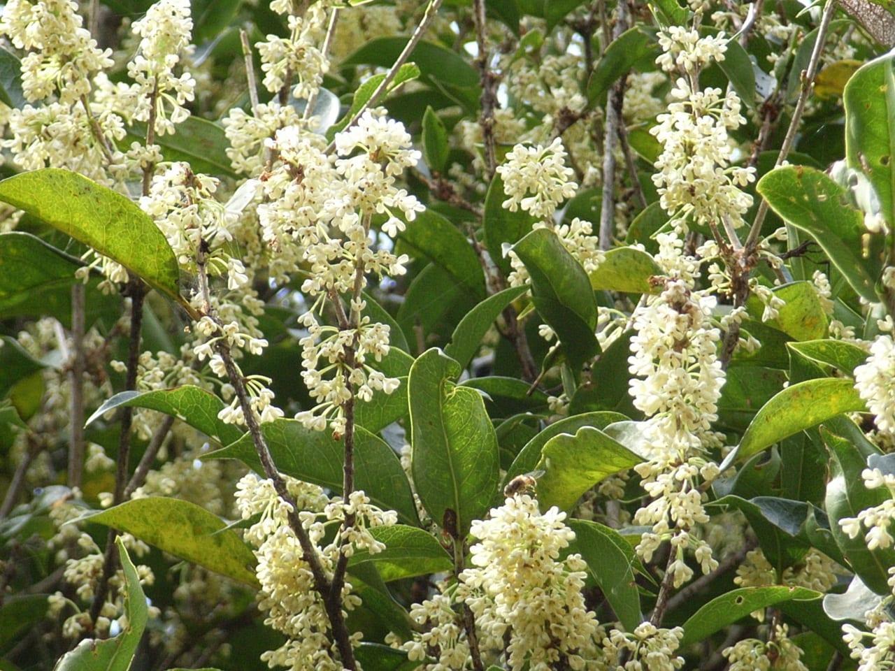 優雅な香り銀木犀の白い花が咲き...