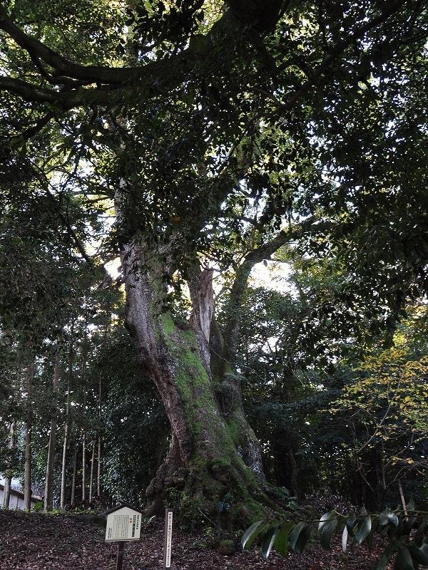 忍坂山口坐神社の大楠