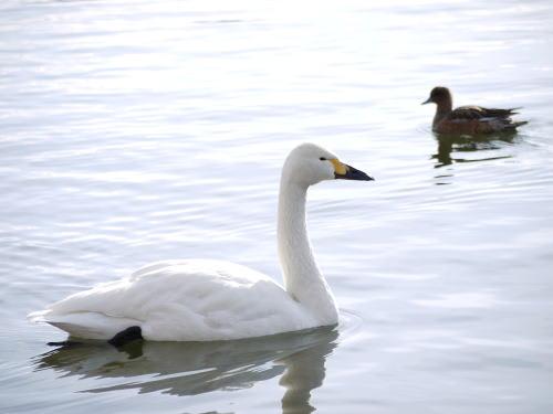 諏訪湖のコハクチョウ(小白鳥)