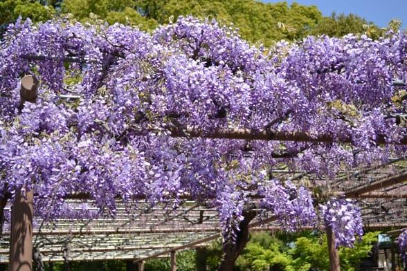 白カピタンも見頃です。 長崎一歳藤もまずまずです。  曼陀羅寺の藤の見頃はもう少し先です。 ・・