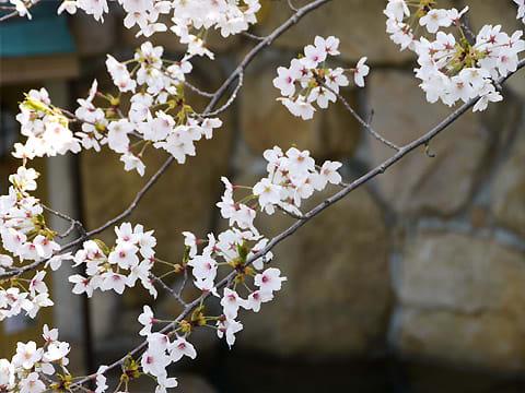 龍泉閣 貸切露天風呂の桜
