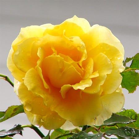 どうです、返り咲きしましたよ。 この色は、春先もいいけど秋にもピッタリ... 『ヘンリー・フォン
