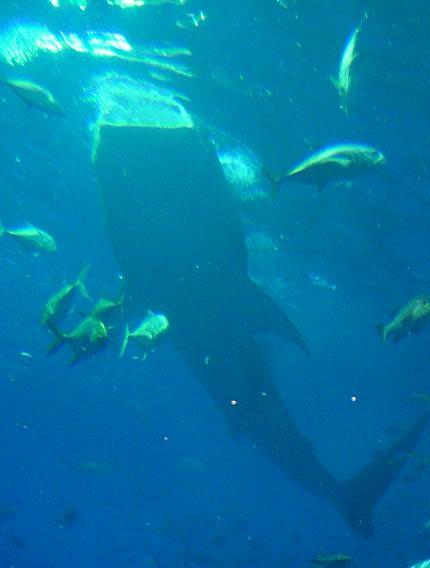 ジンベイザメが食べる物