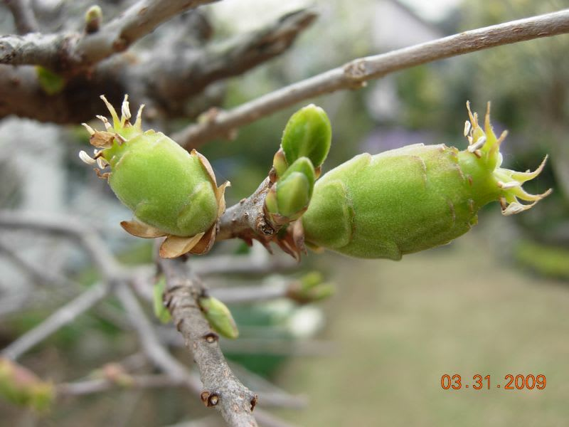 陽気も暖かくなり、次から次へ咲く花に気をとられていたら、花も終わり、枯れ... 蝋梅の実