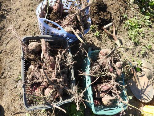サツマイモ(薩摩芋)、紅あずま(べにあずま)収穫