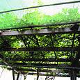 2011-6-4-33 ツル性植物