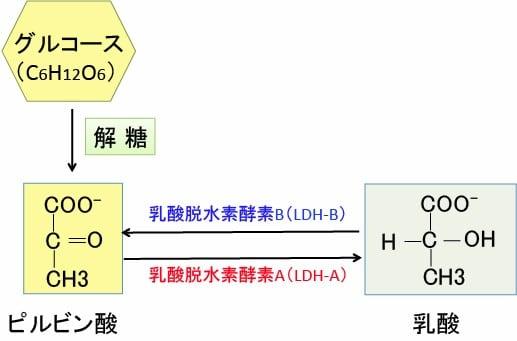 乳酸脱水素酵素 - Lactate dehyd...