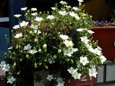 この白い花は?