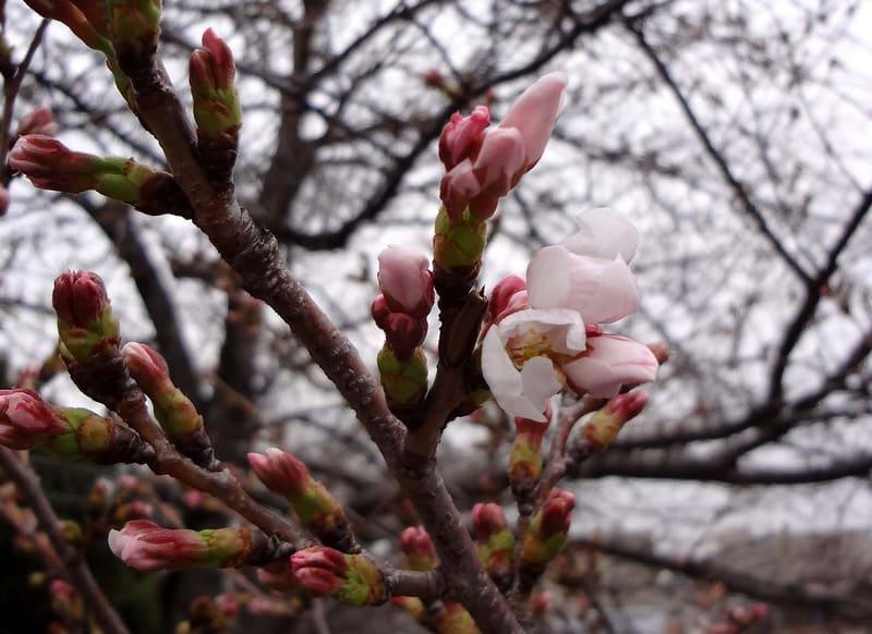 Cherry_blossoms_buds