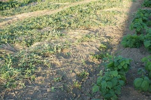 黄な瓜の蔓を整理しました。 - gooブログはじめました!ようこそ近藤農園。近藤農園ではできたてのおいしい野菜をお届けしています。みなさんきてください。