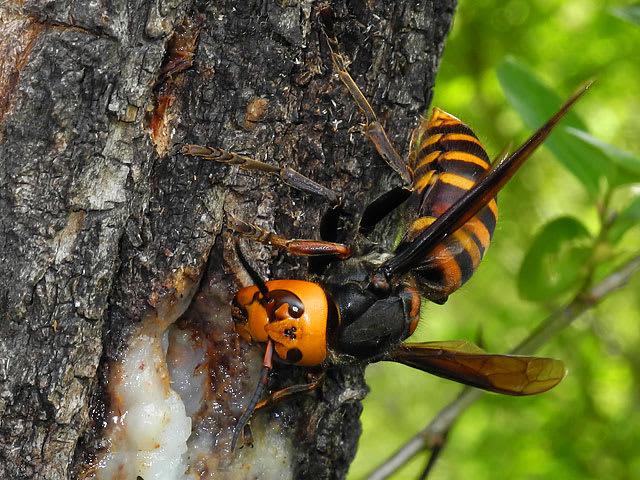 オオスズメバチの画像 - BIGLOBE