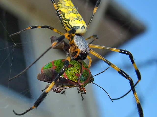 南西諸島には、ジョロウグモの仲間のオオジョロウグモという種類がいますが... アカスジキンカメム