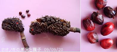 ホオノキの画像 p1_8