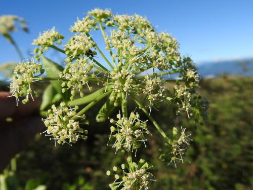 高ボッチ高原・鉢伏山で最近咲いている花 シロバナノダケ(白花野竹)