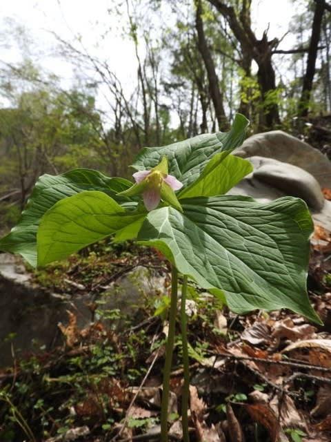高ボッチ高原・鉢伏山で最近咲いている花 ムラサキエンレイソウ(紫延齢草)