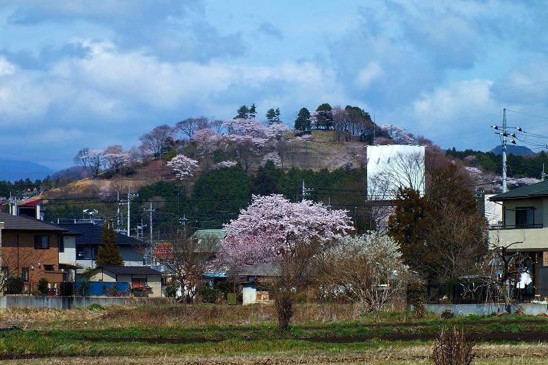 鹿沼市 富士山公園の桜 24.4.15 - 栃木の木々