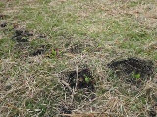 マツムシソウは2年草。来年か再来年に咲くはず。