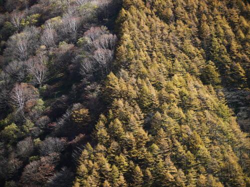 カラマツ(落葉松)林