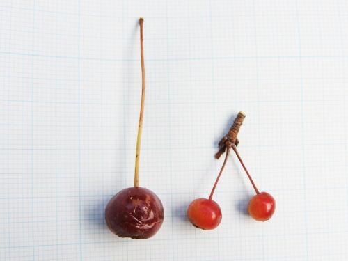 ズミ(酢実)とエゾノコリンゴ(蝦夷小林檎)の実の大きさ比べ