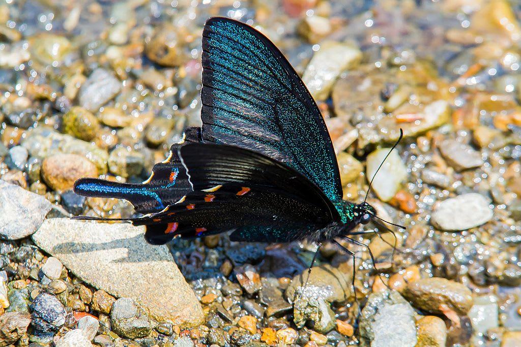 カラスアゲハ(春型)