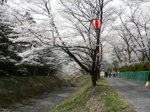駿河徳山の桜