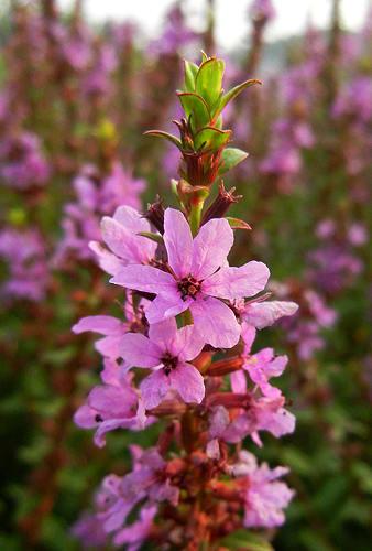 このミソハギの花は中花柱花(ちゅうかちゅうか)長い雄しべ6本(濃紫色)と短い雄しべ(黄色)6本の