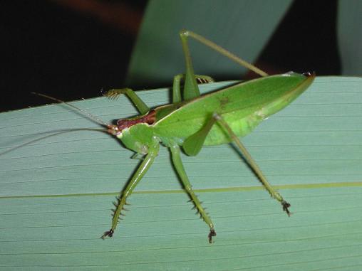 秋の鳴く虫たち・・・ウマオイ - ありんこの、玉手箱